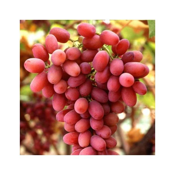 uva-apirena-rosa